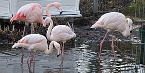 Flamingo im Ententeich